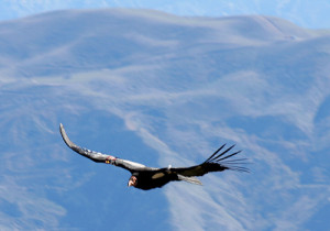 california-condor-flying-7